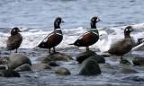 BIRD - DUCK - HARLEQUIN DUCK - MORSE CREEK MOUTH WA (25).JPG