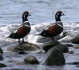 BIRD - DUCK - HARLEQUIN DUCK - MORSE CREEK MOUTH WA (27).jpg