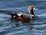 BIRD - DUCK - HARLEQUIN DUCK - SALT CREEK TONGUE POINT (31).jpg
