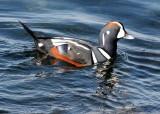 BIRD - DUCK - HARLEQUIN DUCK - SALT CREEK TONGUE POINT (32).jpg