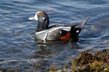 BIRD - DUCK - HARLEQUIN DUCK - SALT CREEK TONGUE POINT (36).jpg