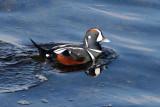 BIRD - DUCK - HARLEQUIN DUCK - SALT CREEK TONGUE POINT (61).jpg