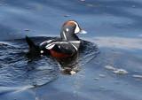 BIRD - DUCK - HARLEQUIN DUCK - SALT CREEK TONGUE POINT (62).jpg