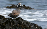 BIRD - DUCK - HARLEQUIN DUCK - SALT CREEK WA (10).JPG