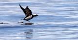 BIRD - DUCK - LONG-TAILED DUCK - PORT ANGELES HARBOR WA (28).JPG