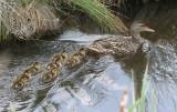 BIRD - DUCK - MALLARD - FEMALE WITH BROOD - JAMESTOWN WA (6).JPG