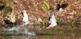 BIRD - DUCK - MALLARD - HOH RAINFOREST WA (2).JPG