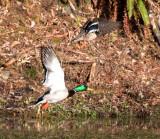 BIRD - DUCK - MALLARD - HOH RAINFOREST WA (3).JPG