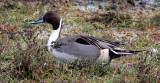BIRD - DUCK - NORTHERN PINTAIL DUCK - THREE CRABS MARSH WA (25).JPG