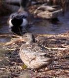 BIRD - DUCK - NORTHERN SHOVELER - FEMALE - JAMESTOWN WA (3).JPG