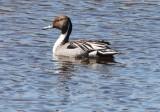 BIRD - DUCK - PINTAIL - NORTHERN PINTAIL - JAMESTOWN WASHINGTON (3).JPG