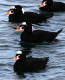 BIRD - DUCK - SCOTER - SURF - PA HARBOR (17).jpg