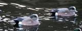 BIRD - DUCK - WIGEON - AMERICAN WIGEON - PA HARBOR MARSH (12).JPG