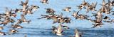 BIRD - DUCK - WIGEON - AMERICAN WIGEON - SEQUIM PRAIRIE (10).JPG