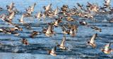 BIRD - DUCK - WIGEON - AMERICAN WIGEON - SEQUIM PRAIRIE (2).JPG
