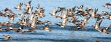 BIRD - DUCK - WIGEON - AMERICAN WIGEON - SEQUIM PRAIRIE (6).JPG