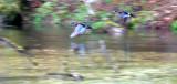 BIRD - DUCK - WOOD DUCK - HOH RIVER VALLEY WETLANDS (2).JPG