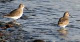 BIRD - DUNLIN - PA HARBOR (12).jpg