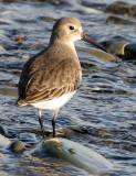 BIRD - DUNLIN - PA HARBOR (7).jpg