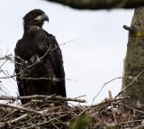 BIRD - EAGLE - BALD EAGLE - CHICKS - CLINE SPIT OVERLOOK - SEQUIM DUNGENESS BLUFFS (37).JPG