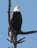 BIRD - EAGLE - BALD EAGLE - CLINE SPIT OVERLOOK SEQUIM WA (25).JPG