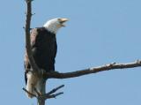 BIRD - EAGLE - BALD EAGLE - CLINE SPIT OVERLOOK SEQUIM WA (29).JPG