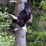 BIRD - EAGLE - BALD EAGLE - LAKE FARM BLUFFS (22).JPG