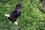 BIRD - EAGLE - BALD EAGLE - LAKE FARM BLUFFS (23).JPG