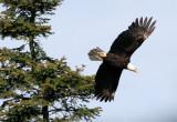 BIRD - EAGLE - BALD EAGLE - LAKE FARM BLUFFS (40).JPG