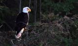 BIRD - EAGLE - BALD EAGLE - LAKE FARM BLUFFS (53).JPG