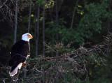 BIRD - EAGLE - BALD EAGLE - LAKE FARM BLUFFS (78).JPG