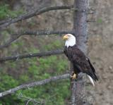BIRD - EAGLE - BALD EAGLE - LAKE FARM BLUFFS WASHINGTON (173).JPG