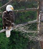BIRD - EAGLE - BALD EAGLE - LAKE FARM BLUFFS WASHINGTON (207).JPG