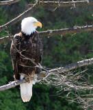 BIRD - EAGLE - BALD EAGLE - LAKE FARM BLUFFS WASHINGTON (208).JPG