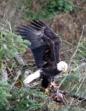 BIRD - EAGLE - BALD EAGLE - LAKE FARM RAVINE (20).JPG