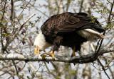 BIRD - EAGLE - BALD EAGLE - OP (25).jpg