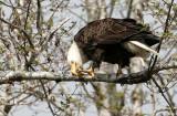 BIRD - EAGLE - BALD EAGLE - OP (31).jpg