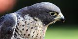 BIRD - FALCON - PEREGRINE FALCON - WOODLAND PARK (2).JPG