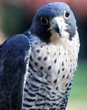 BIRD - FALCON - PEREGRINE FALCON - WOODLAND PARK (4).JPG