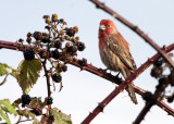 BIRD - FINCH - HOUSEFINCH - JAMESTOWN WA (3).JPG