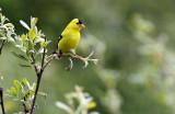 BIRD - GOLDFINCH - AMERICAN GOLDFINCH - ELWHA RIVER TRAILS (3).JPG