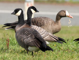 BIRD - GOOSE - CANADA GOOSE - DUSKY FORM - STRAIT OF JUAN DE FUCA  (2).JPG