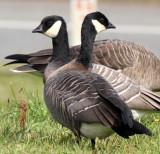 BIRD - GOOSE - CANADA GOOSE - DUSKY FORM - STRAIT OF JUAN DE FUCA  (4).JPG