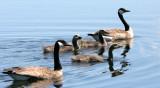 BIRD - GOOSE - CANADA GOOSE FAMILY - JAMESTOWN WETLANDS WA (3).JPG