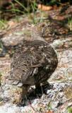 BIRD - GROUSE - BLUE-GROUSE - OLYMPIC NATIONAL PARK (16).JPG