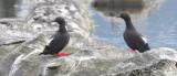 BIRD - GUILLEMOT - PIGEON GUILLEMOT - PORT ANGELES HARBOR WA (38).JPG