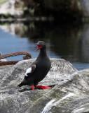 BIRD - GUILLEMOT - PIGEON GUILLEMOT - PORT ANGELES HARBOR WA (48).JPG