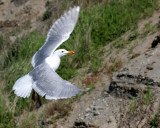 BIRD - GULL - GLAUCOUS WINGED GULL - DUNGENESS SPIT WILDLIFE RESERVE WA (23).JPG