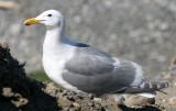 BIRD - GULL - GLAUCOUS WINGED GULL - DUNGENESS SPIT WILDLIFE RESERVE WA (3).JPG