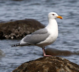 BIRD - GULL - GLAUCOUS-WINGED GULL - LAKE FARM BEACH WA (9).JPG